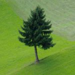 Einzelne-Tanne-auf-Bergwiese-BGL-0.jpeg