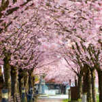 Kirschblütenallee